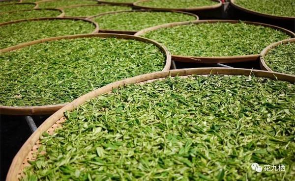 摊晾白茶最好的工具是竹篾
